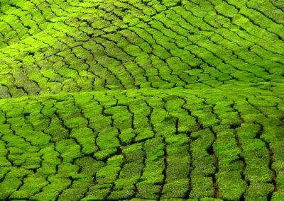 tea-plantation-1-1476128-640x480
